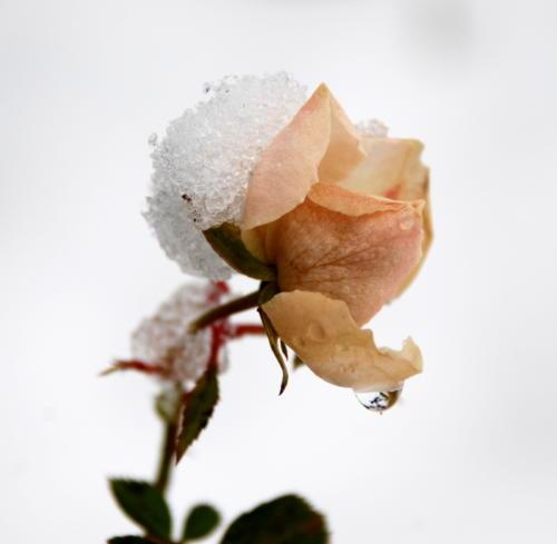 Frozen rose slowly melting