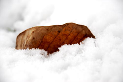 Dead Leaf in the snow